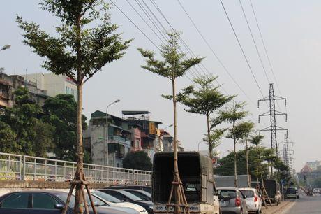 Hang tram cay xanh duoc trong duoi duong dien cao the tren nhieu tuyen pho Thu do - Anh 1