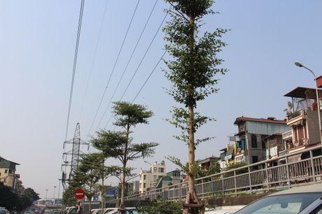 Hang tram cay xanh duoc trong duoi duong dien cao the tren nhieu tuyen pho Thu do - Anh 5