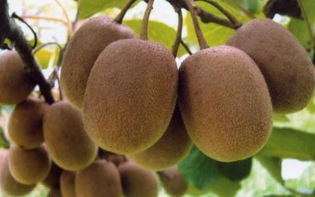 Lam sao de tranh mua nham kiwi Trung Quoc 'doi lot' hang xin? - Anh 3