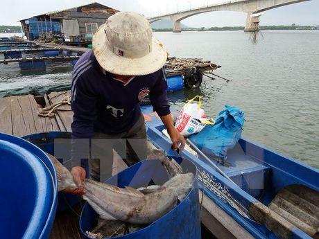 Ba Ria-Vung Tau: Hon 65 tan ca nuoi lai chet tren song Cha Va - Anh 1