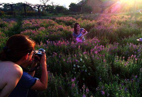 Thao nguyen hoa tuyet dep de chup anh cuoi giua Ha Noi - Anh 3