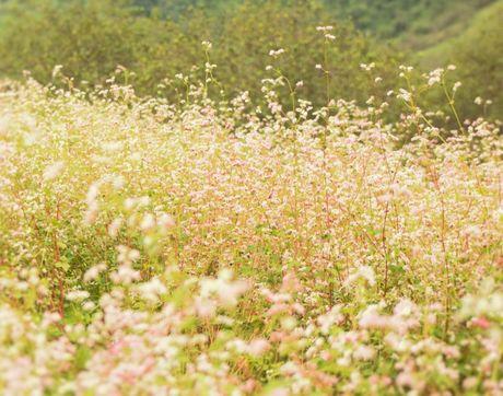 Mua hoa tam giac mach dep ngat ngay o Moc Chau - Anh 10