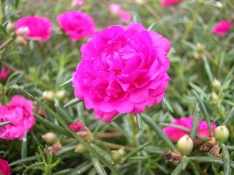 Ky thuat trong hoa muoi gio no nhieu hoa ruc ro sac mau - Anh 3