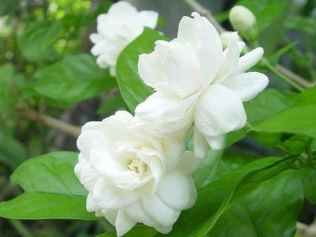 Tac dung tri benh cua hoa lai - Anh 1