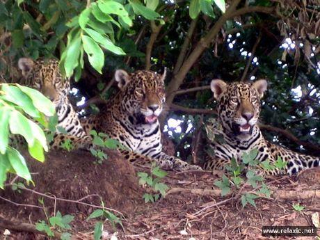 Ky thu khu tu nhien hoang da Pantanal - Brazil - Anh 41