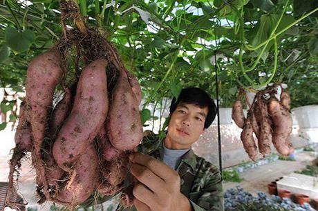 Nhung vuon khoai lang luc liu tren gian - Anh 1