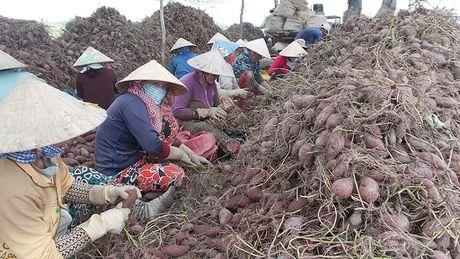 Ky hop dong tieu thu 150.000 tan khoai lang moi nam - Anh 1