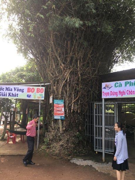 'Cu tre' co thu hon 50 nam tuoi loi cuon du khach o Dak Lak - Anh 3