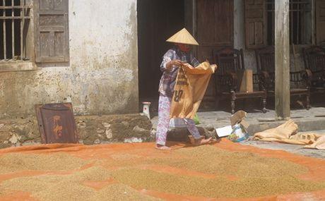 Quang Binh: Nong dan can cay, con giong - Anh 1