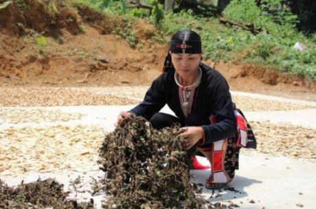 Noi danh Ha Thanh nho bai thuoc chua xuong khop nguoi Dan toc Dao - Anh 1
