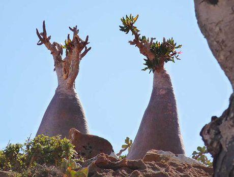 Kham pha Socotra - Hon dao duoc vi nhu hanh tinh khac tren trai dat - Anh 12