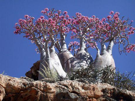 Kham pha Socotra - Hon dao duoc vi nhu hanh tinh khac tren trai dat - Anh 3
