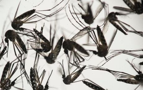 Chan dong: Virus Zika co the lam teo tinh hoan - Anh 1