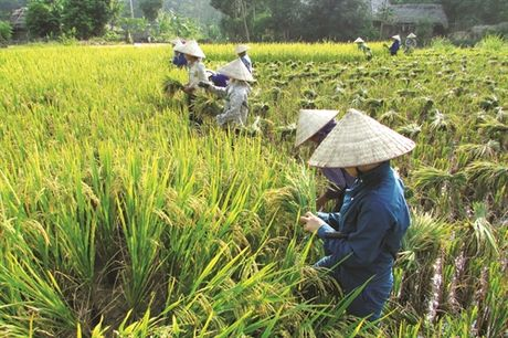 Bac Quang day manh tai co cau nong nghep - Anh 4