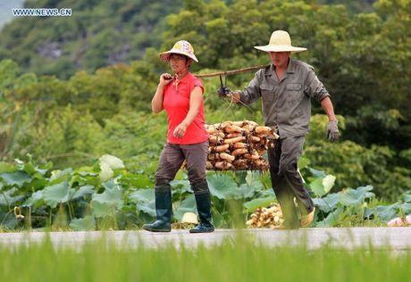 Xem nong dan Trung Quoc thu hoach cu sen mua boi thu - Anh 8