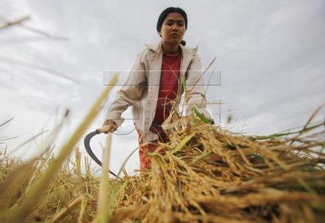 Xuat khau gao cua Myanmar giam - Anh 1