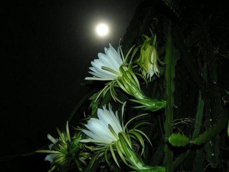 Tac dung chua benh cuc bat ngo cua hoa quynh - Anh 4