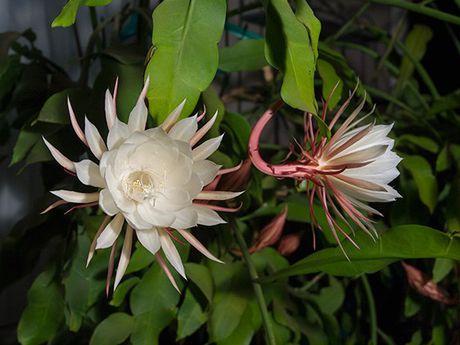 Tac dung chua benh cuc bat ngo cua hoa quynh - Anh 6