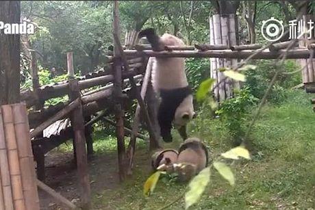 Hai huoc gau truc dau vo kieu 'kungfu panda' trong vuon thu - Anh 1
