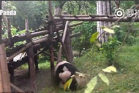 Hai huoc gau truc dau vo kieu 'kungfu panda' trong vuon thu - Anh 2
