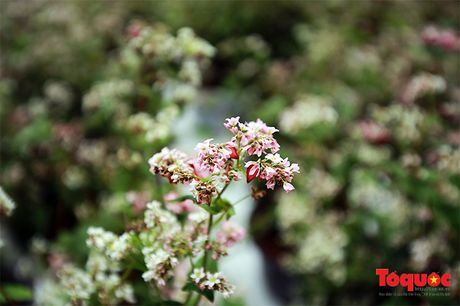 Ngam hoa tam giac mach lan dau khoe sac tren pho di bo - Anh 5