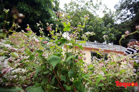Ngam hoa tam giac mach lan dau khoe sac tren pho di bo - Anh 6