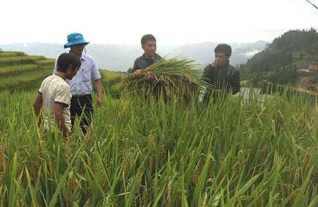 Dung phan bon DAP Lao Cai: Nang suat lua tang, nha nong them thu nhap - Anh 1