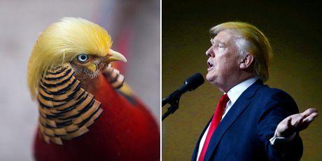 Chu chim tri bat ngo noi tieng vi kieu toc giong ong Donald Trump - Anh 3