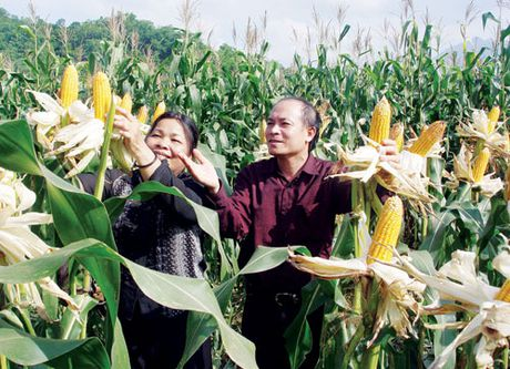 Bon phan DAP Lao Cai giup ngo tang nang suat, giam chi phi - Anh 1