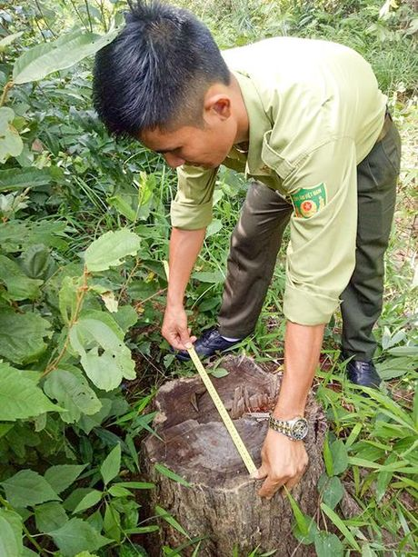 Kon Tum: Go rung dac dung mat, ly giai khong thuyet phuc - Anh 1