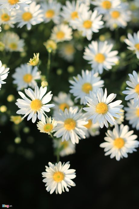 Kham pha 5 mua hoa dep khap ca nuoc trong cuoi thang 11 - Anh 5