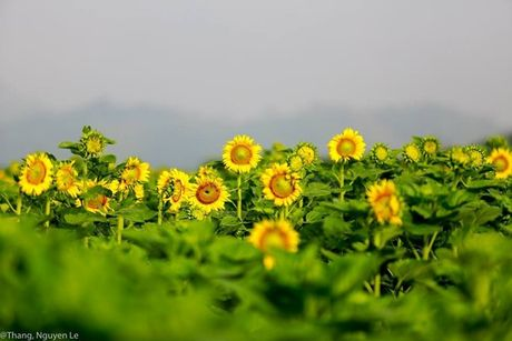 Kham pha 5 mua hoa dep khap ca nuoc trong cuoi thang 11 - Anh 9