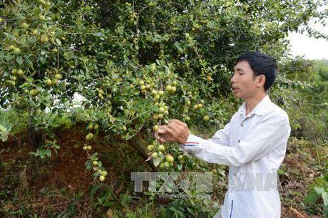 Cay son tra giup xoa ngheo o vung cao Yen Bai - Anh 1