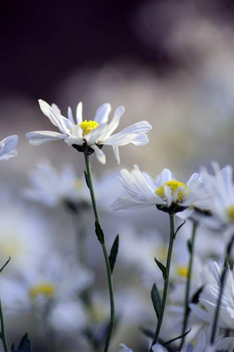 Thieu nu Ha thanh 'do sac' cung hoa cuc hoa mi - Anh 3