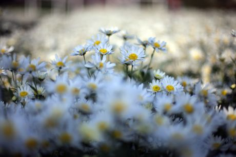 Thieu nu Ha thanh 'do sac' cung hoa cuc hoa mi - Anh 4