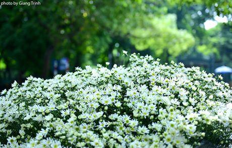 Cuc hoa mi ve tren pho Ha Noi - Anh 1