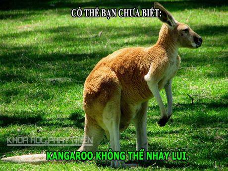 DOC-LA: Kangaroo khong the nhay lui, suc manh dang ne cua dai bang - Anh 2