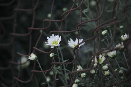 Cuc hoa mi no ro tu vuon ra pho - Anh 6