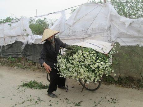Cuc hoa mi ngap tran tren cac tuyen pho Ha Noi - Anh 3