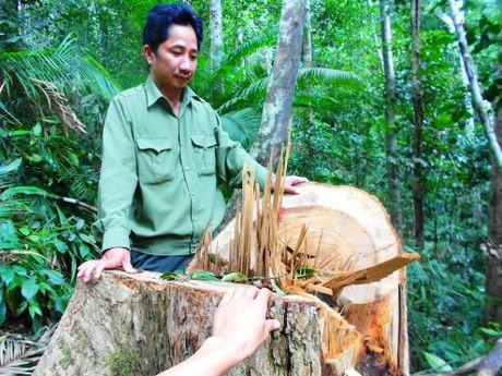 Khoi to vu 'chay mau' rung tai Binh Dinh - Anh 1