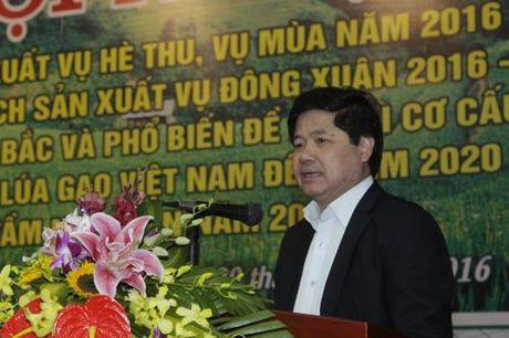 Vu Dong Xuan 2016-2017, mien Bac uu tien cac giong lua lai co chat luong tot - Anh 2
