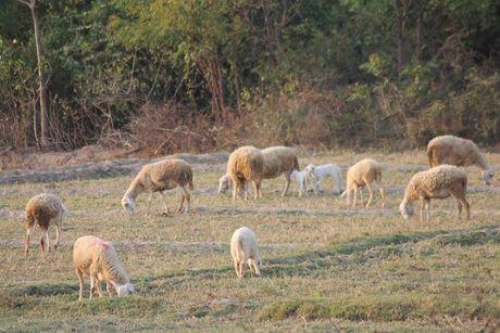 Ninh Thuan: Xuat hien 378 con gia suc mac benh lo mom long mong - Anh 1