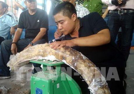 Tp. Ho Chi Minh phat hien 529 kg nga voi giau tinh vi trong cac khuc go - Anh 1