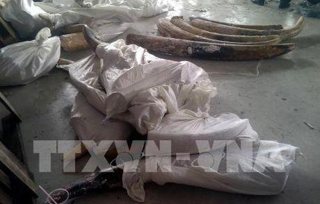 Tp. Ho Chi Minh phat hien 529 kg nga voi giau tinh vi trong cac khuc go - Anh 3