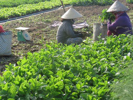 Gia rau tai Phu Yen tang manh sau lu - Anh 1
