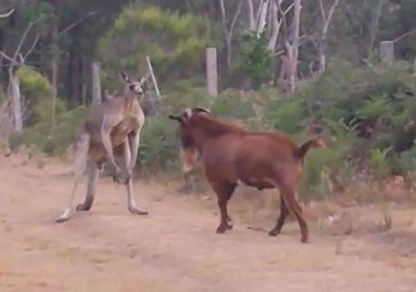 Clip: De 'ranh viec' treu kangaroo tuc dien - Anh 1
