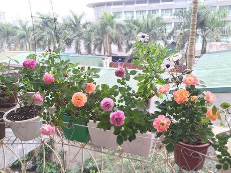 'Thien duong' hoa hong giua long Ha Noi - bo suu tap vo gia - Anh 15