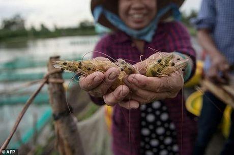 AFP: Viet Nam gap kho khi can bang giua nuoi tom va trong lua o DBSCL - Anh 1