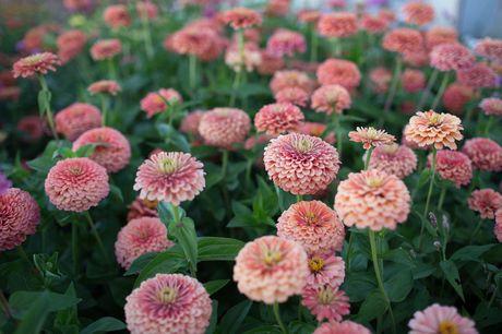 Chiem nguong ve dep cua hoa co be lo lem - Anh 7