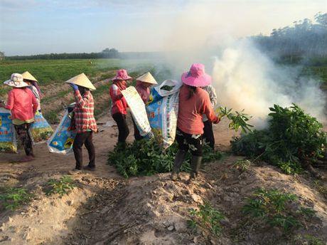Tay Ninh bung phat benh kham la tren khoai mi voi toc do chong mat - Anh 2